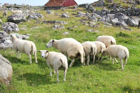 A flock of sheep on the Western Coast of the isle of Karmoy, Norway. One sheep is pissing. Piss off! Stock Photo