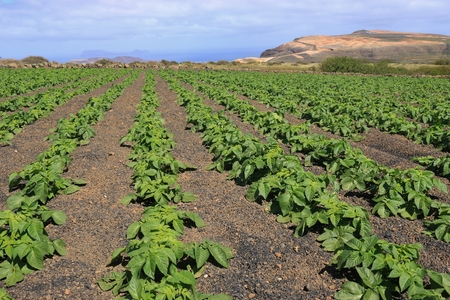 Potato field on a high plateau of the Chinijo Archipelago nature park. Northwest Lanzarote, Canary Islands, Spain. View of the Isle of La Graciosa and the viewpoint Mirador del Rio.