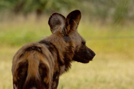 wild dog: Wild Dog in Namibia Stock Photo