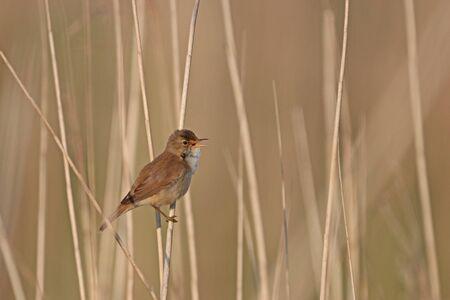 Little cricket singer in the reeds Banque d'images
