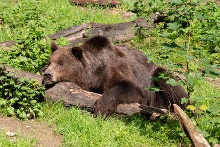 A brown bear is sleeping in the warm summer sun