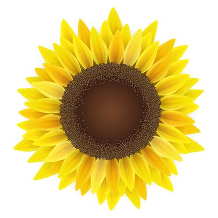 Yellow sunflower top view