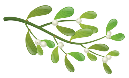 Realistic mistletoe plant branch with leaf and white berry. Isolated on white, design for Christmas, winter or other holiday design