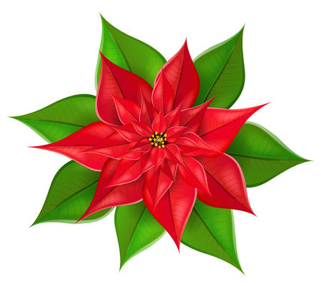 Realistic poinsettia plant flower with red and green petals and leaves. Isolated on white, design for Christmas, winter and other December holiday and celebration