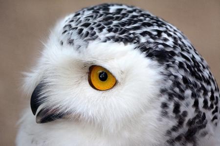 nocturnal: nocturnal bird of prey Stock Photo