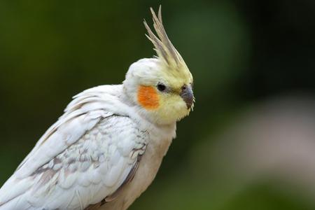 Cockatiel photo