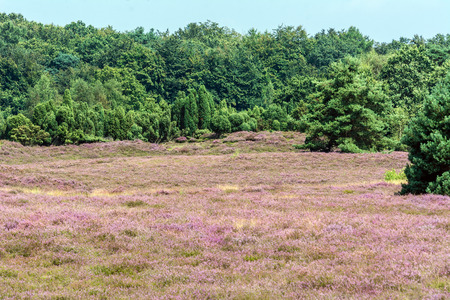 heathland: heathland