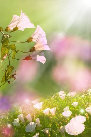 soft diffused light: Glowing morning glory flowers in Spring with soft, diffused lighting and a blurred background with a flared sunlight effect. Stock Photo