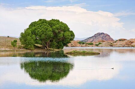 cottonwood  tree: An old cottonwood tree at the edge of Watson Lake in Prescott, Arizona.