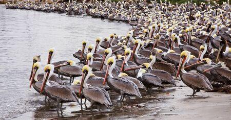 santa barbara: A large group of brown pelicans in Santa Barbara, California.