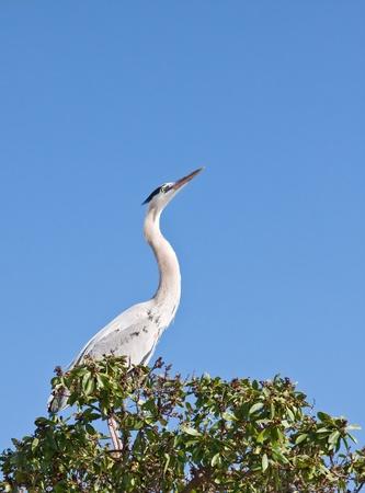A great blue heron photographed in Santa Barbara, California. Stock Photo - 10311195