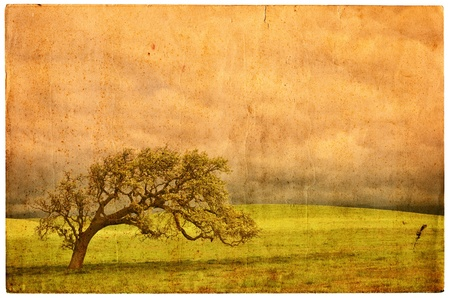 A California oak on an old vintage postcard. photo