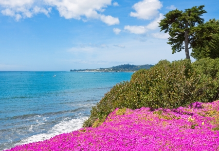 Purple ice plant blooming on a cliff overlooking the Pacific ocean in Santa Barbara, California.