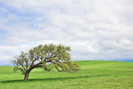 An old gnarled oak near Santa Ynez, California . Фото со стока