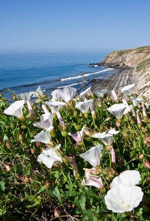 Wihte Morning Glory flowers growing along the California coast.