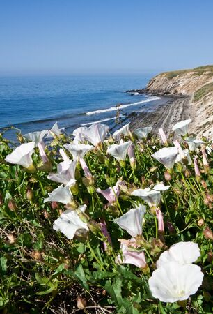 Wihte Morning Glory flowers growing along the California coast. photo