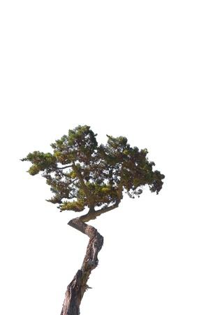 A lone cypress tree isolated on a white background. Zdjęcie Seryjne