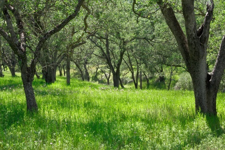 glade: A grassy meadow with oak trees.