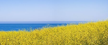 mustard field: A panoramic view of mustard plants flowering along the Paciic coastline.