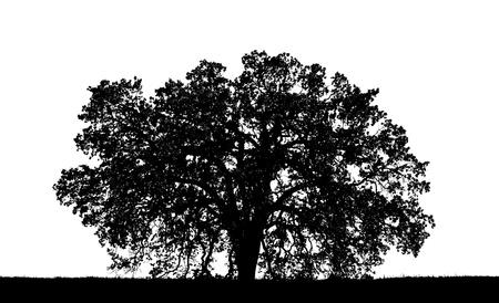 arboles blanco y negro: Un gr�fico roble silouette. Foto de archivo