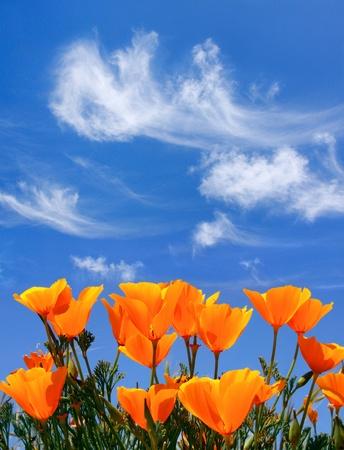 wild flowers: Een veld van papavers met wolken boven. Stockfoto