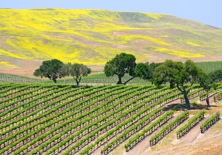 mustard field: A wine vineyard near Santa Barbara, California.