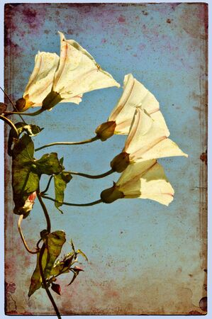 decayed: Morning Glory flowers on a vintahe grunge background.
