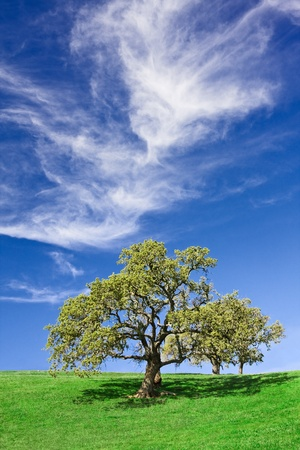 An old gnarled oak on a California hillside. photo