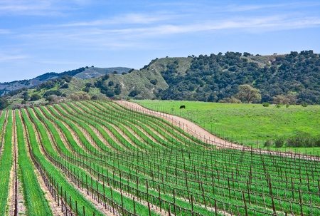 wine road: A vineyard landscape near Santa Barbara, California. Stock Photo