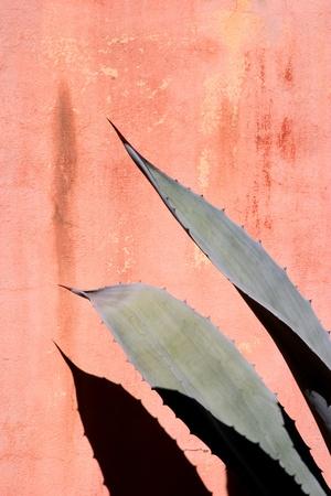 agave: Agave hojas contra una pared manchada de color rojo. Foto de archivo