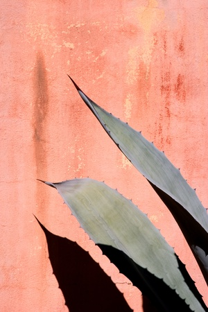 Agave leaves against a stained red wall. photo