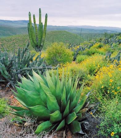 cactus species: Varias especies de cactus de agave, candelabros y Card�n.  Baja Mexico, fotografiado cerca de Catavina.