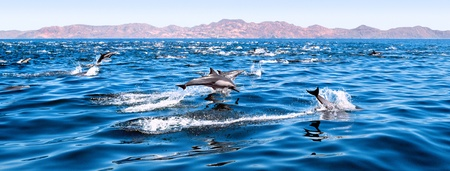 A large herd of common dolphins swimming in the Sea of Cortes, Baja Mexico.  Note: Image was made from a film negative and displays a distinct grain pattern at 100%. Stock Photo