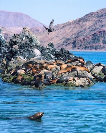 Una colonia de leones marinos de California y un pelícano marrón vuelo. La imagen es de una película original y muestra un patrón de grano distinto al 100%.
