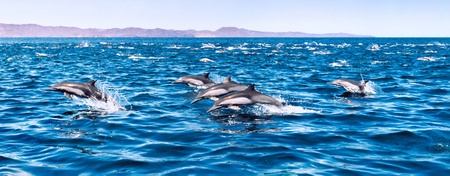 distinct: A large herd of common dolphins.   Image is from a film original and displays a distinct grain pattern at 100%. Stock Photo