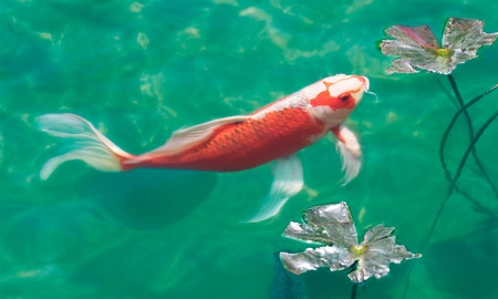 fish pond: A koi carp in a fish pond.