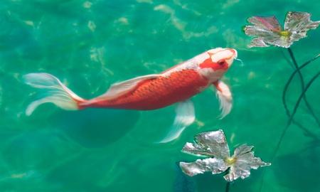 A koi carp in a fish pond.