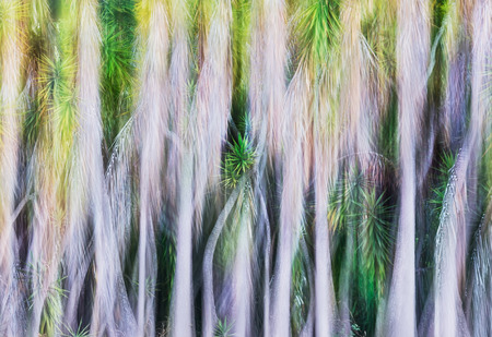 A blurred abstract of a grove of yucca trees.