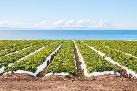 カリフォルニア州サンタ ・ バーバラの近くの太平洋が見渡せるイチゴ畑。 写真素材
