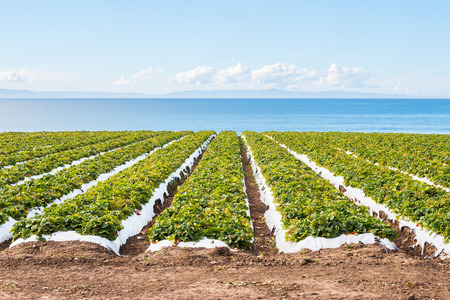 A strawberry field overlooking the Pacific ocean near Santa Barbara, California.