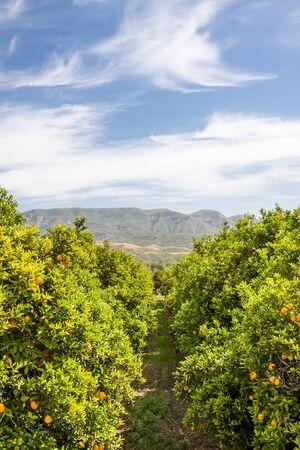arboleda: Un bosque de las naranjas en una granja en el centro de California.