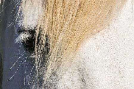 whitehorse: Head, Eye and mane of a white horse