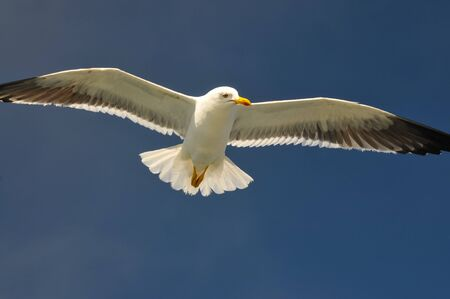 landscape format: flying white seagull in the sun with blue sky
