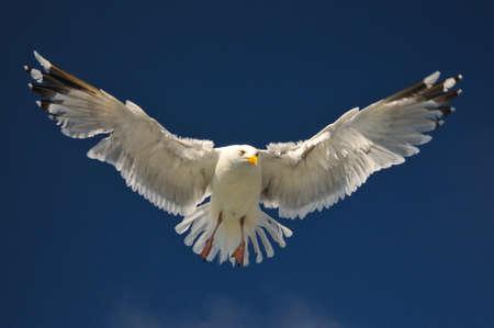 animal screaming: flying white seagull in the sun with blue sky herring gull