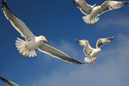 german ocean: flock of aggressiv crying seagulls Stock Photo
