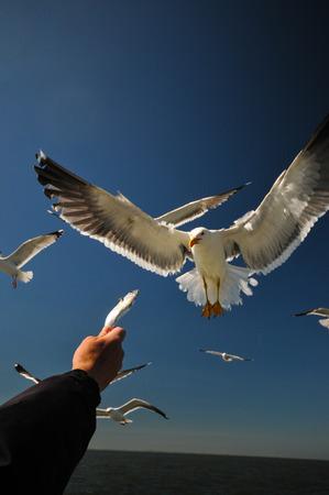 german ocean: lesser black-backed gull attakt fish