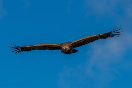 griffon: griffon vulture in flight Stock Photo