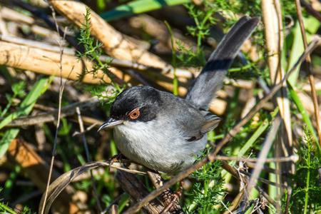 medow: sardinian warbler Extramadura Stock Photo