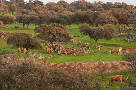 extremadura: cork oak and cows in  Extremadura (Spain)