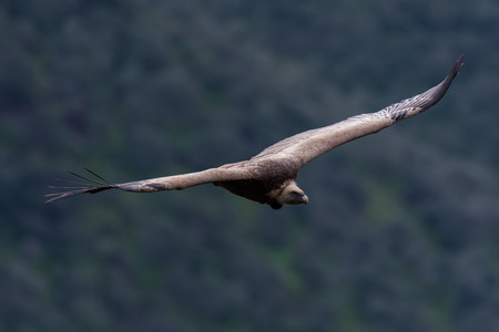 vulture: griffon vulture in flight Stock Photo